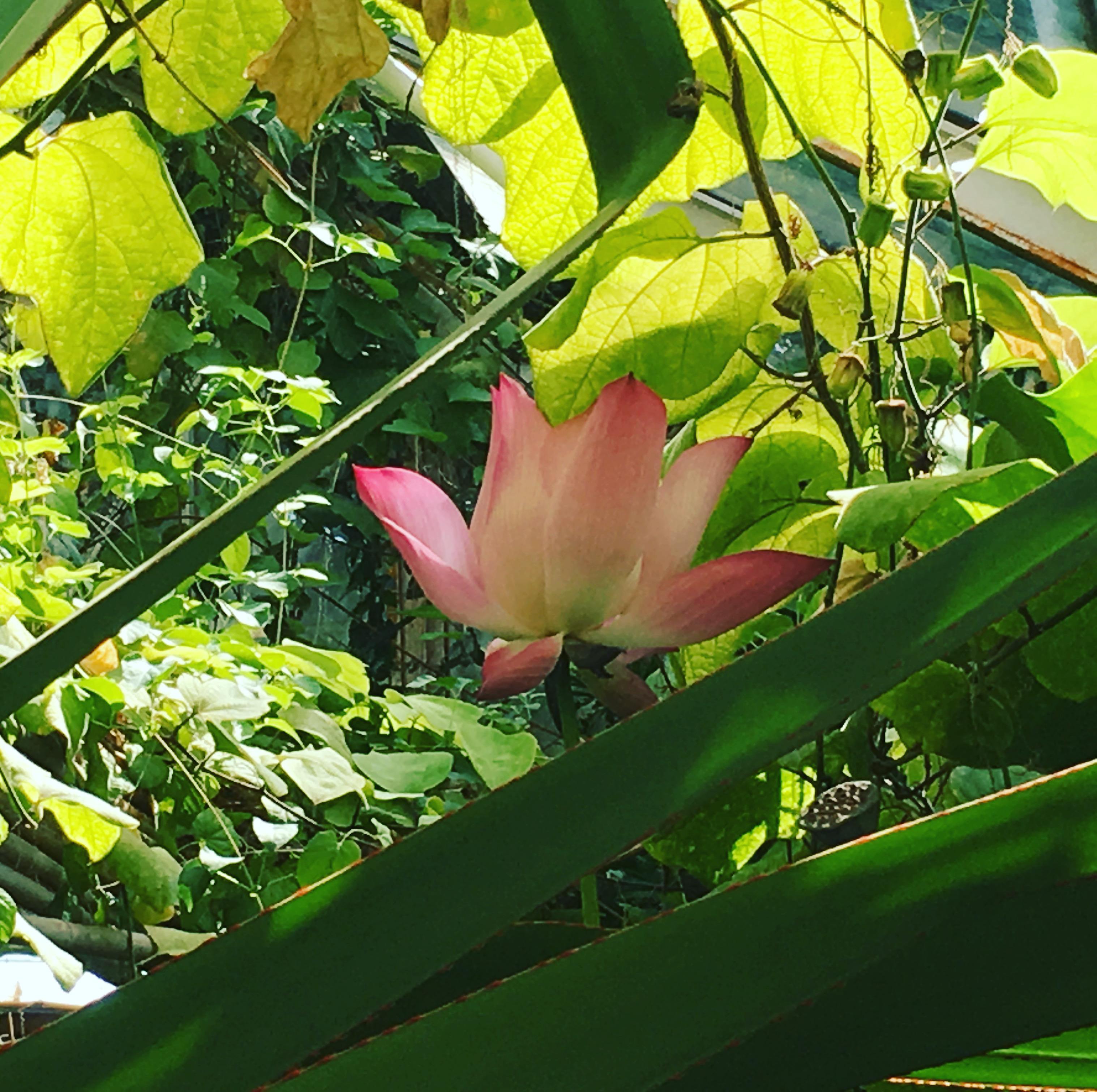 Lotus Blooming Natural History Museum