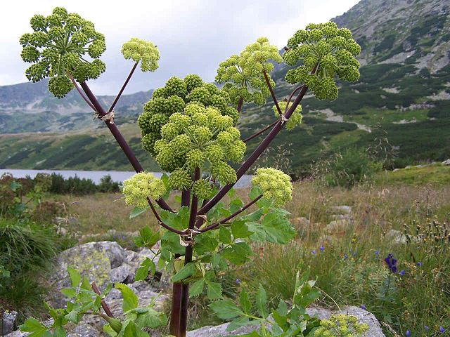 Image may contain: Plant, Flower, Tree, Flowering plant, Heracleum (plant).