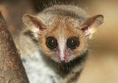 Muselemur fra Madagaskar