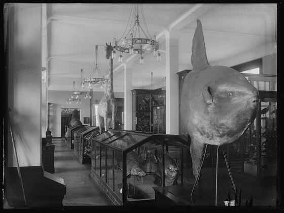 Bilde av gamle utstillinger med månefisk og sjiraff.