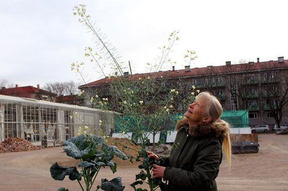 Bilde av botaniker med to kjempestore kålplanter, ca 2 meter høye.