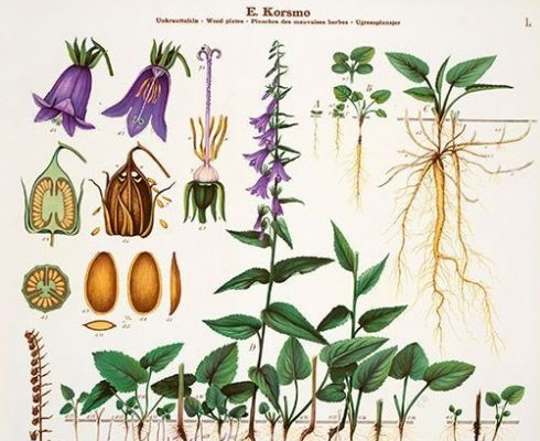 Botanisk tegning av ugressklokke.