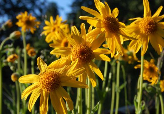 Flere gule blomster av arten solblom i blomstereng